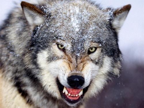 Wilk z Yellowstone